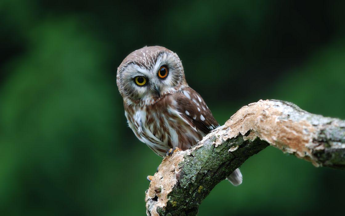 animals birds owl raptor predator feathers face eyes wildlife feathers wallpaper