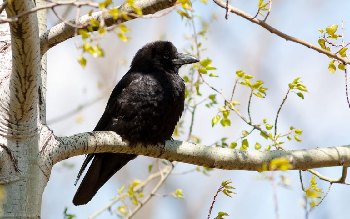 animals birds feathers crow raven black trees leaves wallpaper