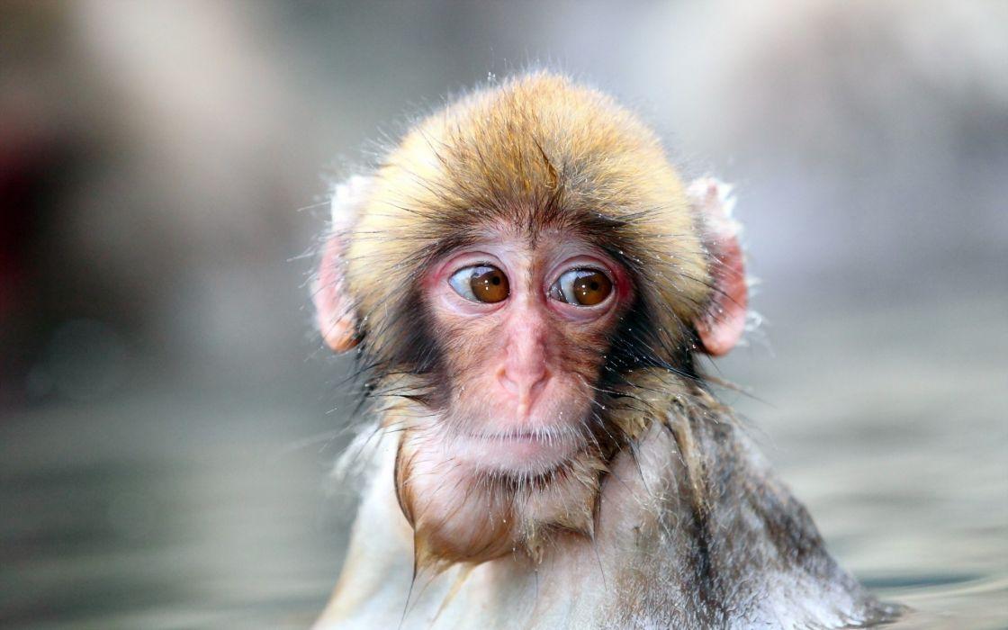 animals monkeys water pool cute face eyes wallpaper