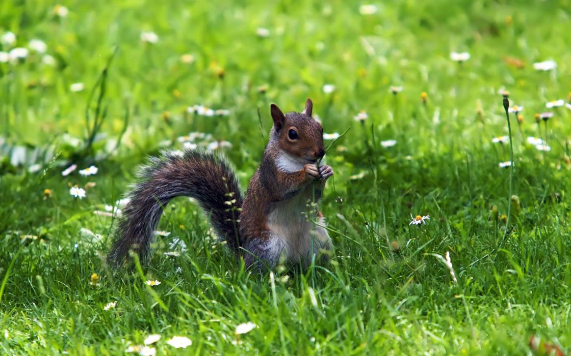 animals rodents squirrel graas flowers green wallpaper