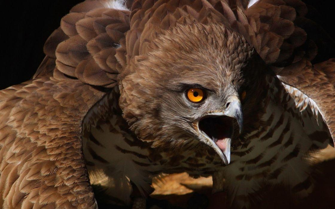 animals birds hawks eyes predator wildlife raptor wallpaper
