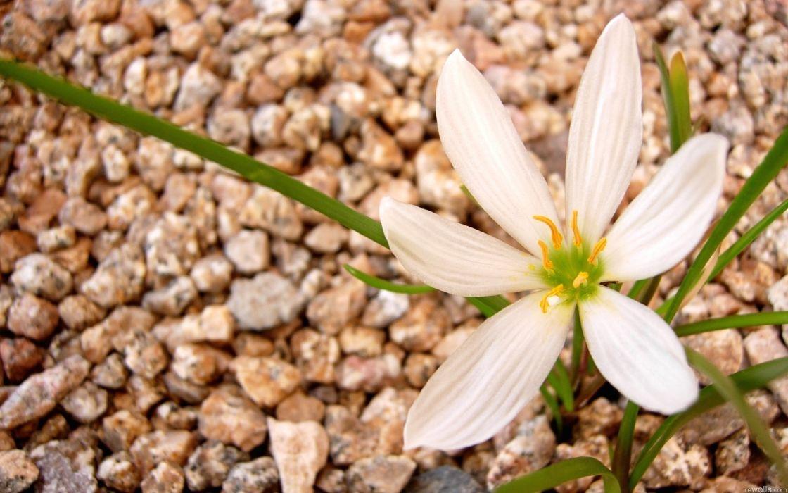 nature flowers petals plants rocks pebbles wallpaper