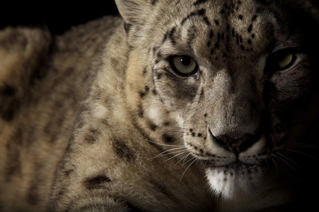 animals cats leopards predator face eyes whiskers spots wallpaper