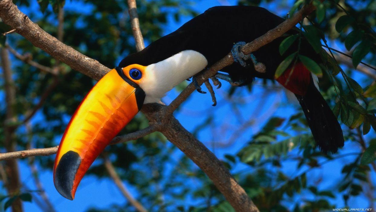 animals birds color parrot toucan trees eyes pov wallpaper