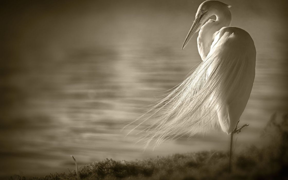 animals birds crane sepia water lakes wallpaper