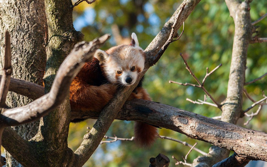 Red Panda animals panda trees forest leaves wildlife pov wallpaper