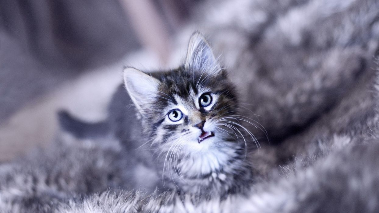 animals cats feline kitten pov eyes face whickers wallpaper