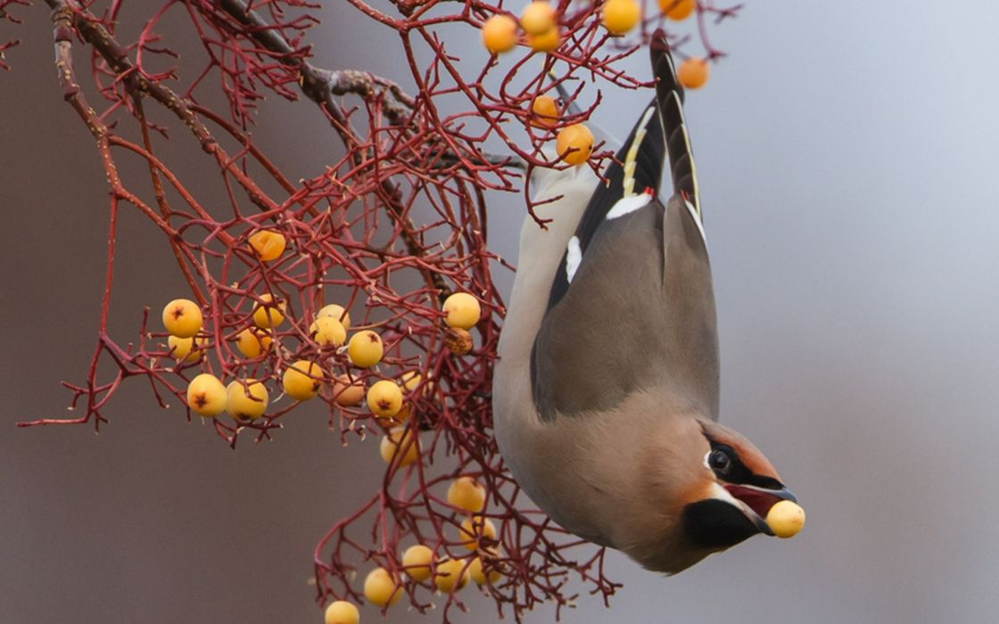 animals birds nature wildlife berry branch wallpaper