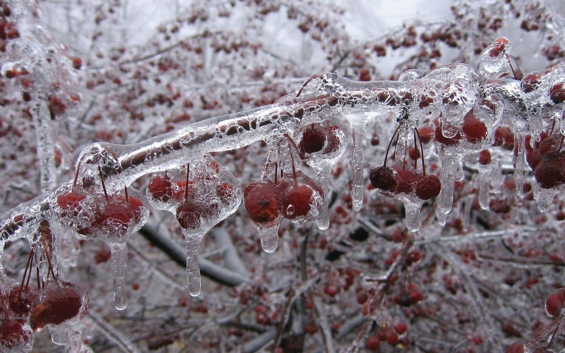 Cherry fruit nature winter ice freezing cold orchard trees wallpaper
