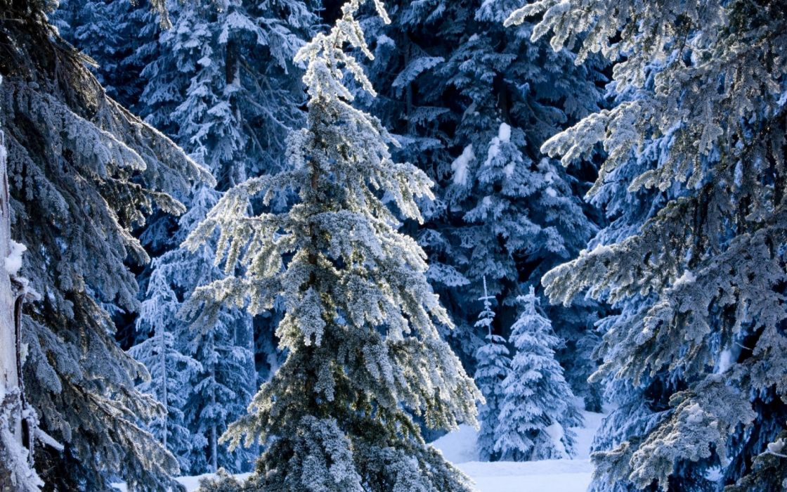 nature trees forest winter snow wallpaper