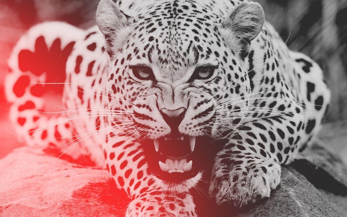 Leopard animals cats predator snarl fangs spots pov face wallpaper
