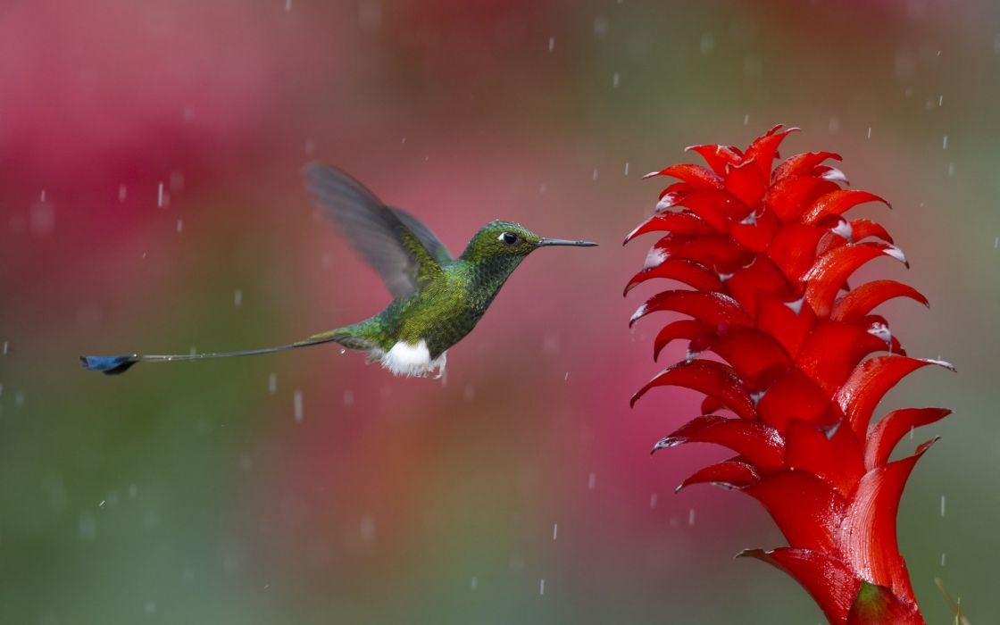 Hummingbird animals birds flowers nature wildlife rain drops wallpaper