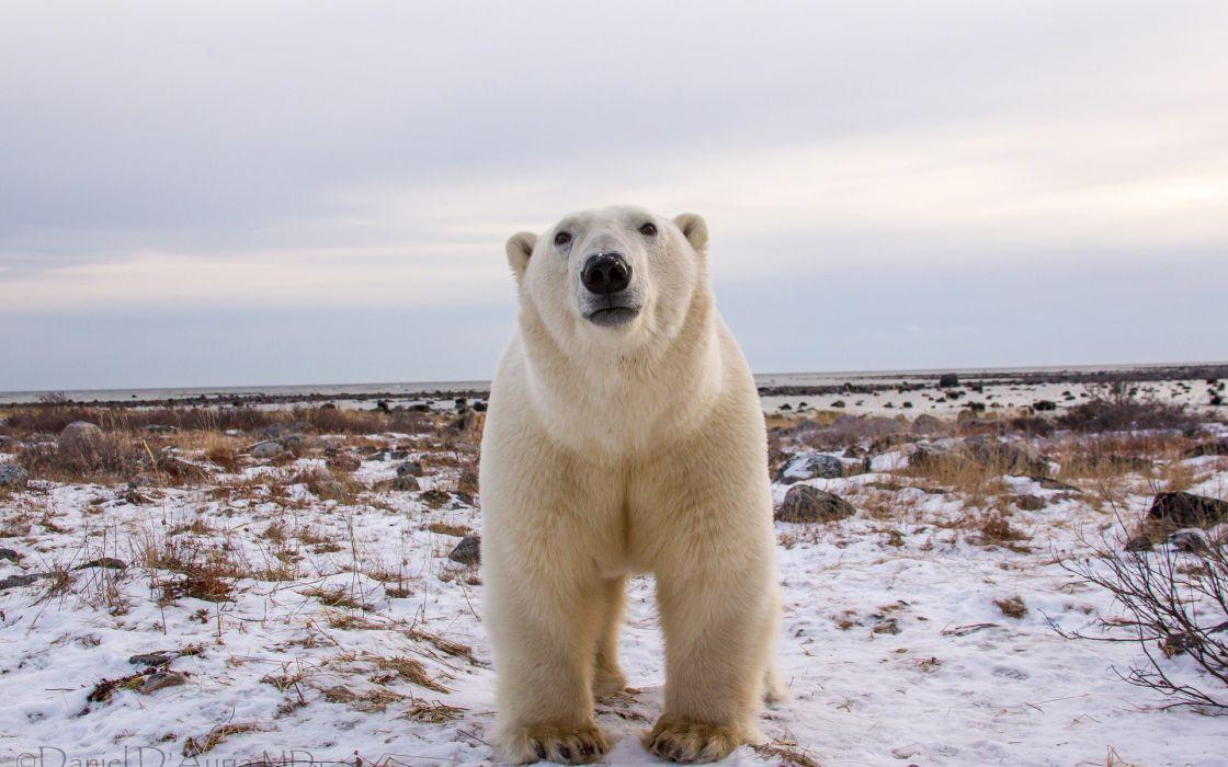 Polar Bear animals bears face eyes pov nature wildlife predator winter snow seasons wallpaper