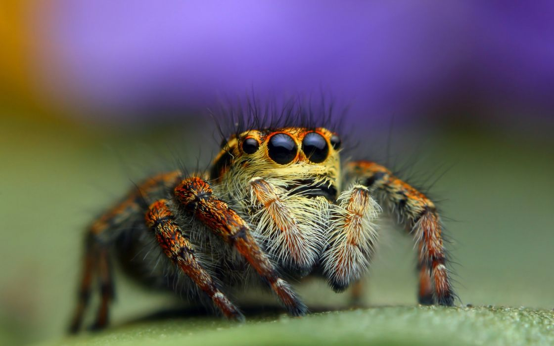 animals insect spiders eyes macro wallpaper