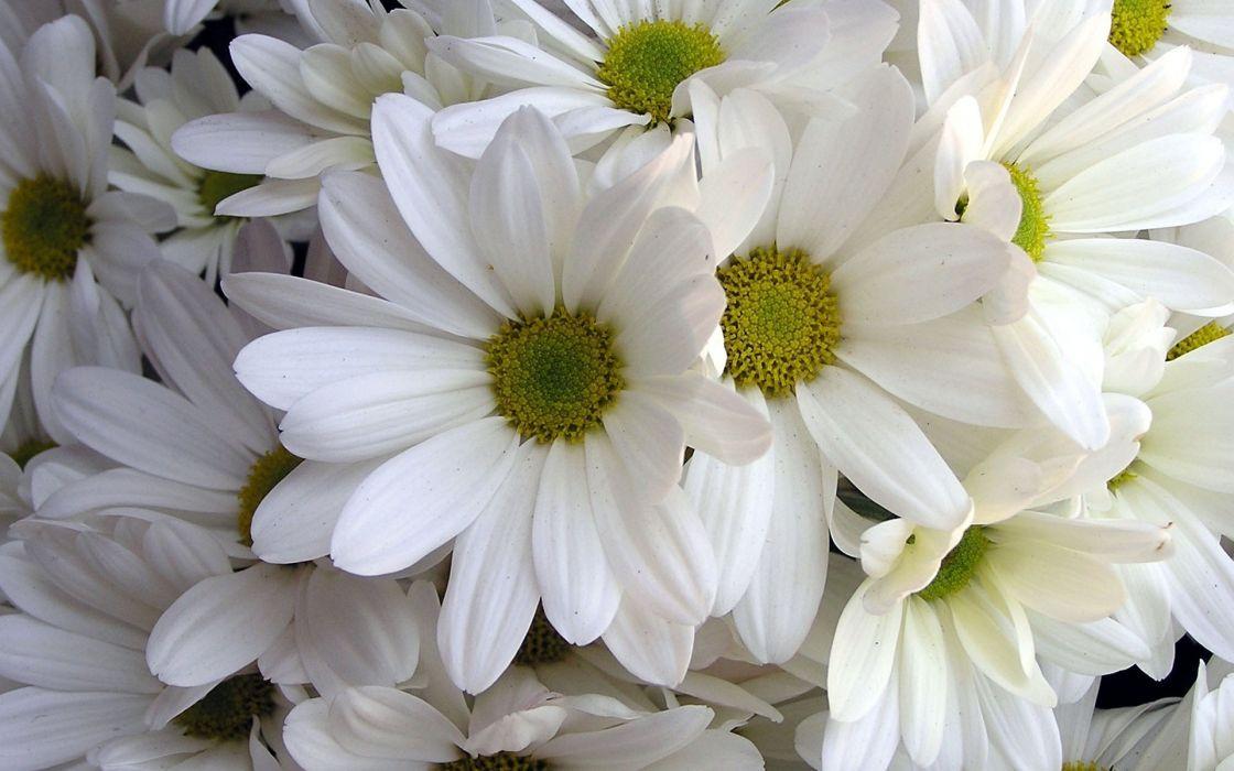 nature flowers petals white wallpaper