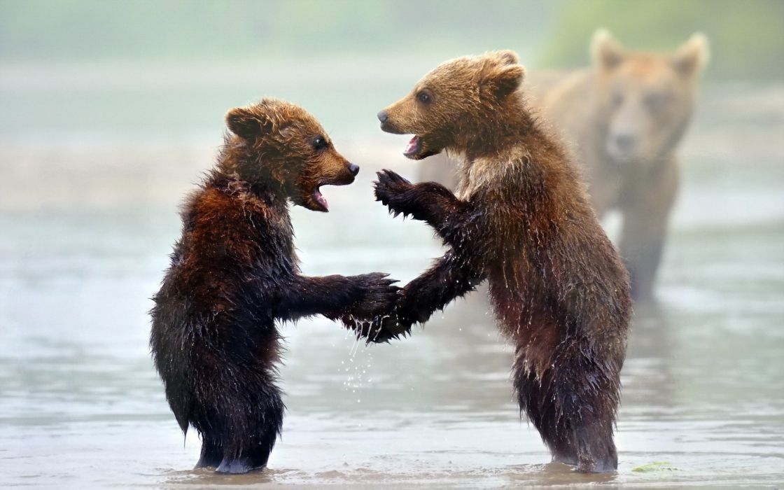 animals bears play mood rivers nature predator wildlife wallpaper