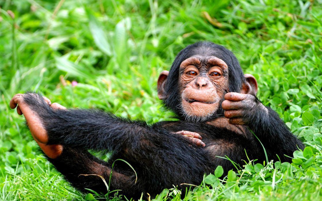 animals monkeys wallpaper