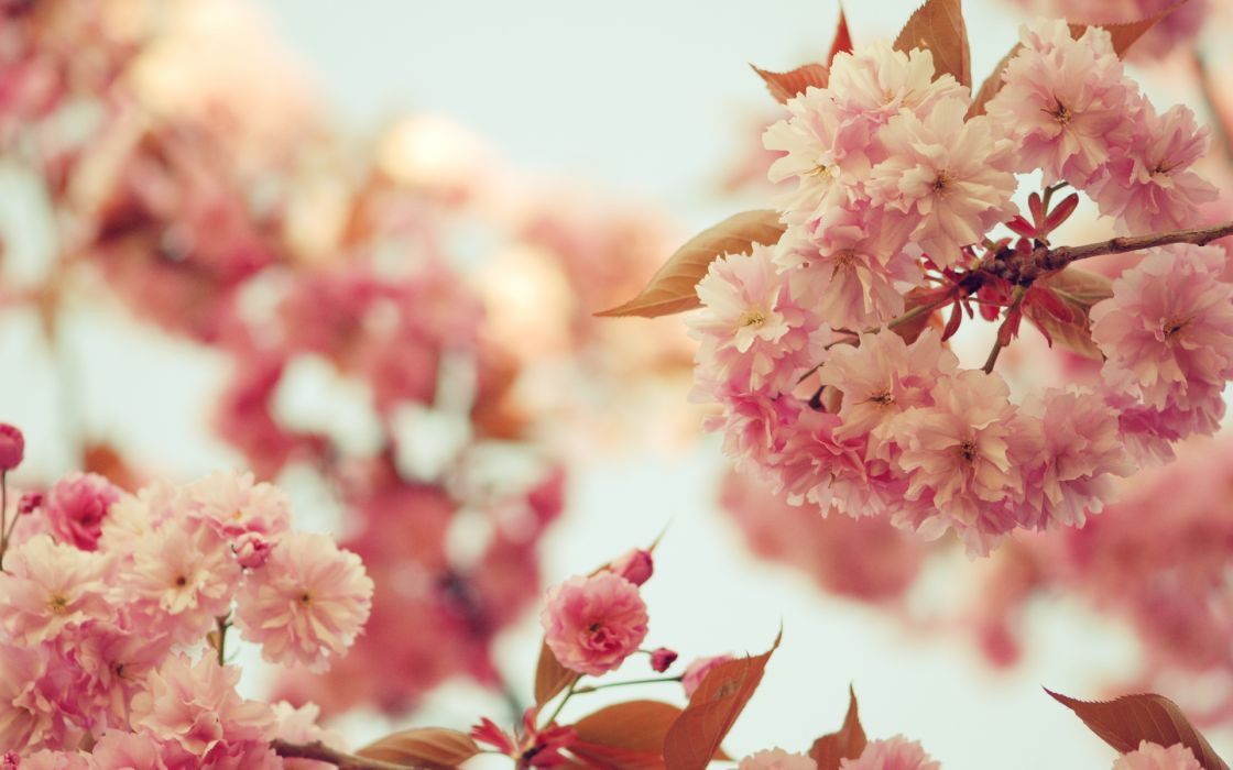 nature flowers blossoms pink trees orchard leaves sky wallpaper