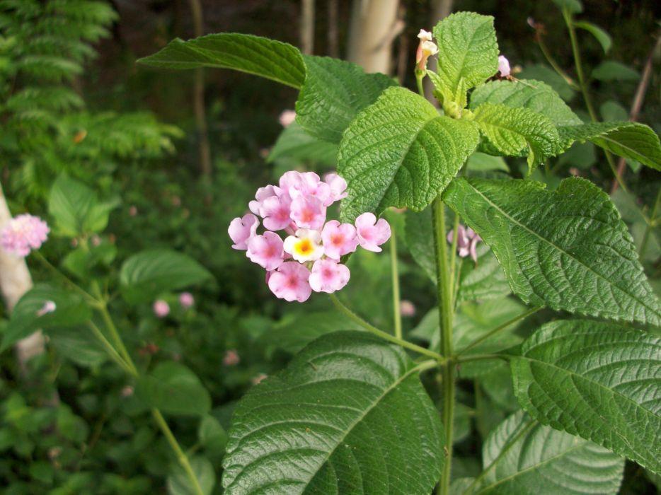 Samson Flower wallpaper