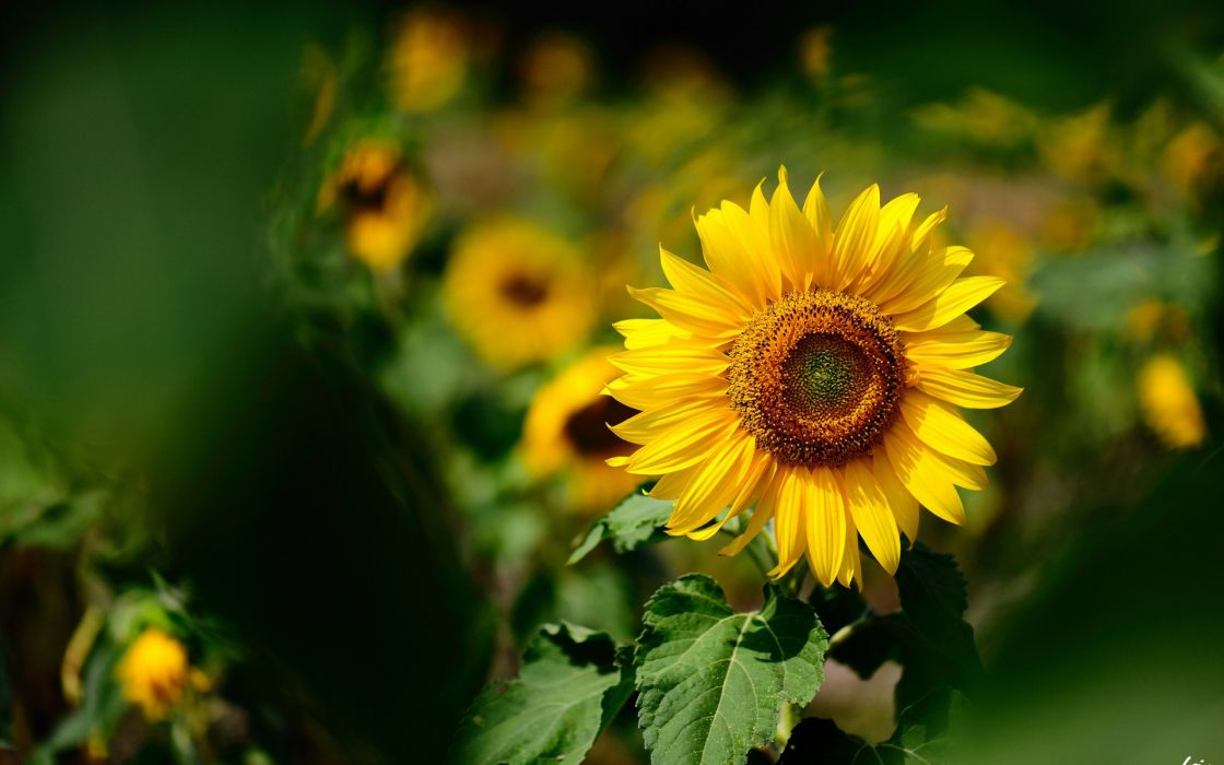 natures flowers sunflowers color yellow macro wallpaper