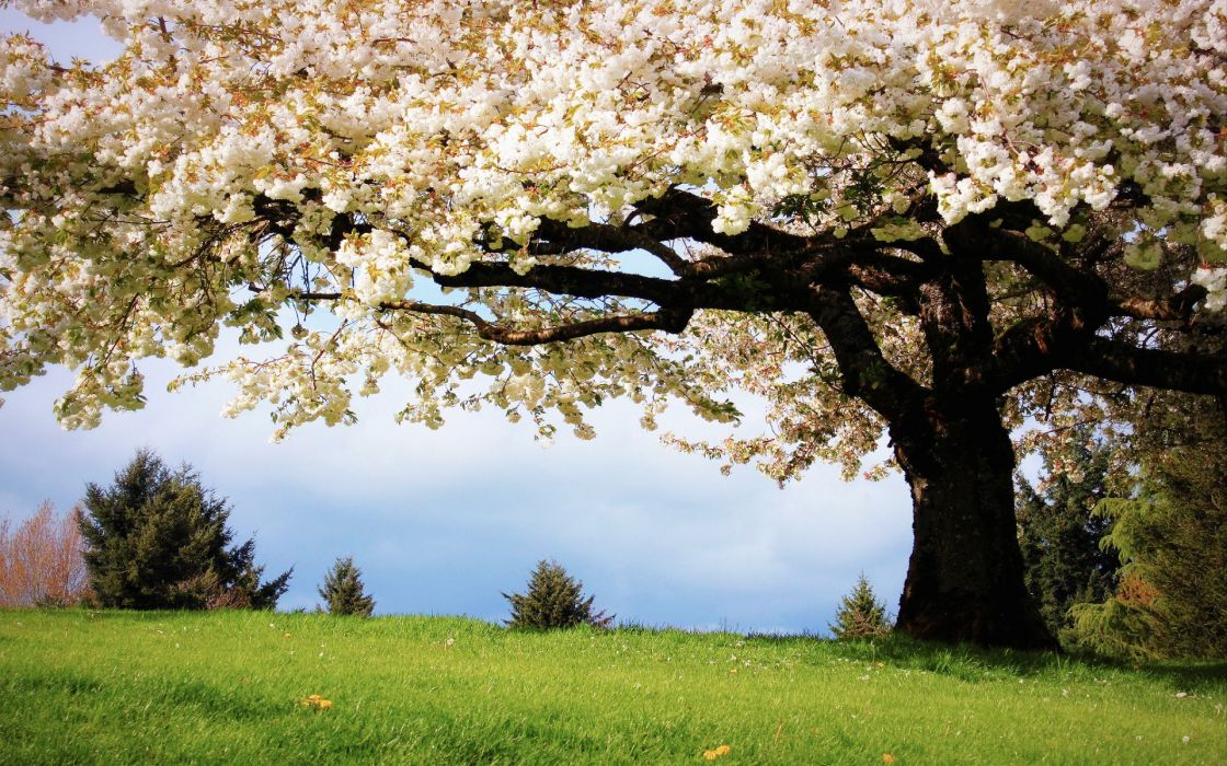 Nature Landscapes Trees Flowers Blossoms Spring Grass Wallpaper