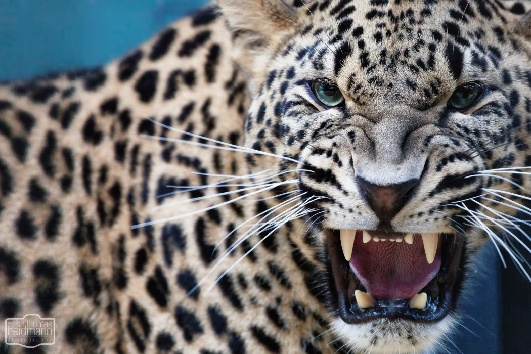 Leopards animals cats face eyes pov fangs predator spots pattern whiskers wallpaper