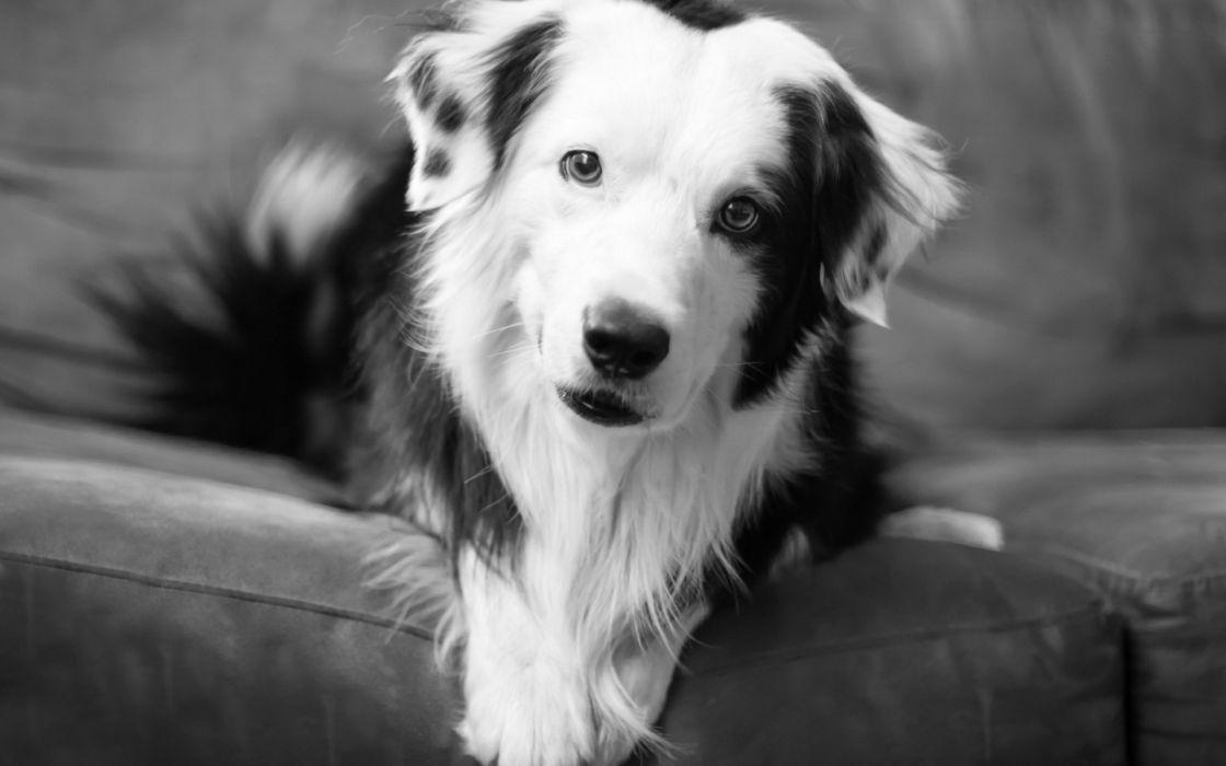 animals dogs black white eyes pov wallpaper