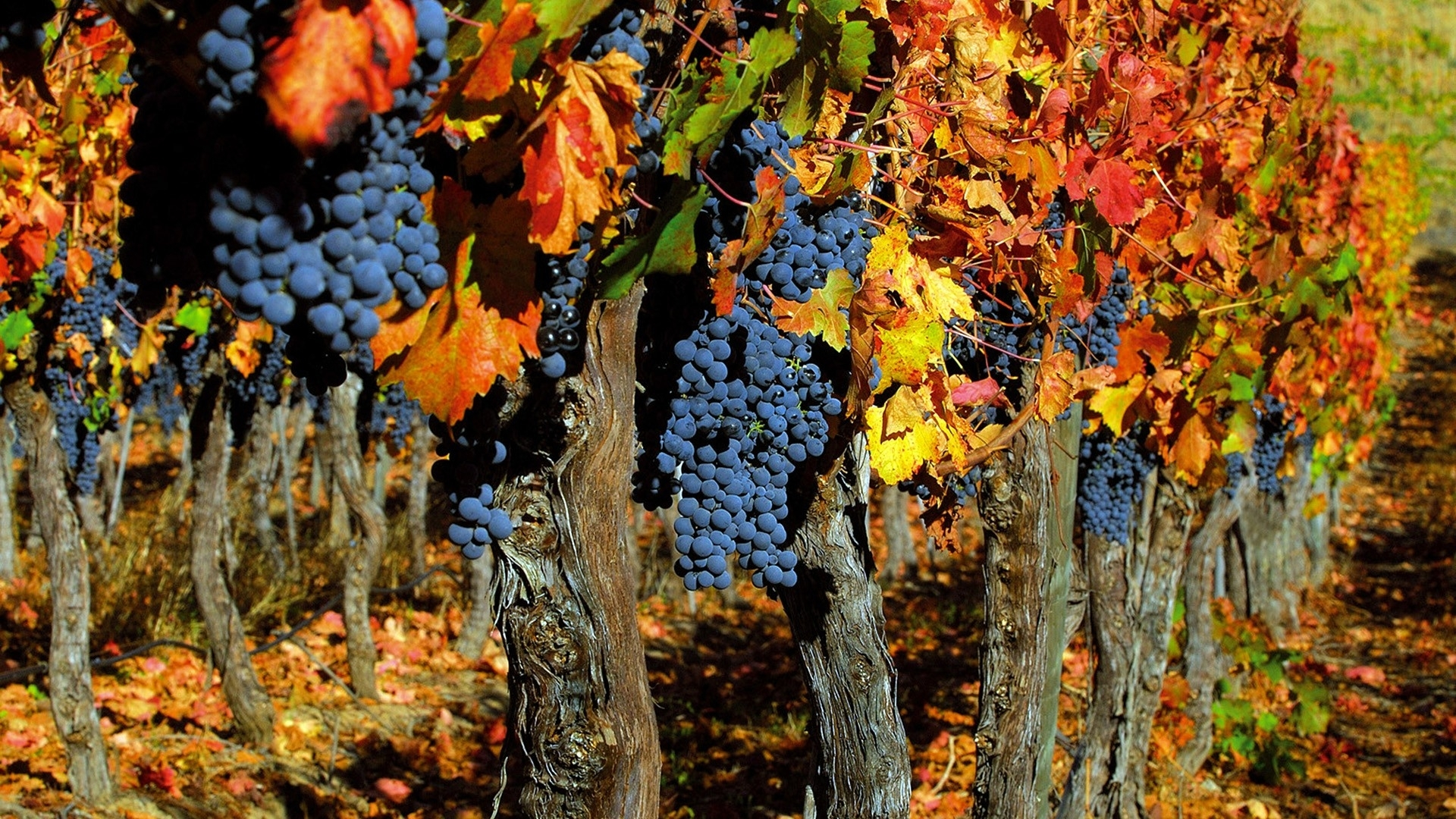 Colorful Food Wallpaper Free Download: Grapes Orchard Harvest Food Fruit Plants Leaves Color