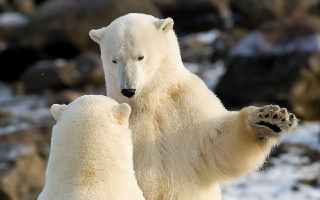 animals polar bears play fight white predator wallpaper