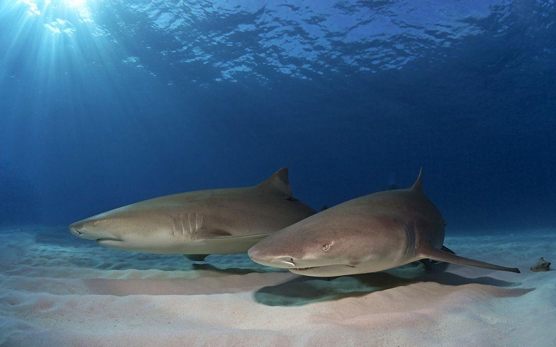 animals fishes sharks ocean sea underwater sand sunlight predator wallpaper