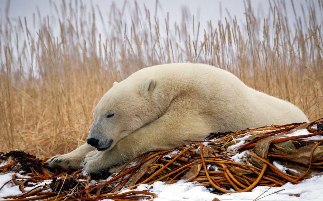 animals polar bears predator wildlife winter snow seasons nature wallpaper