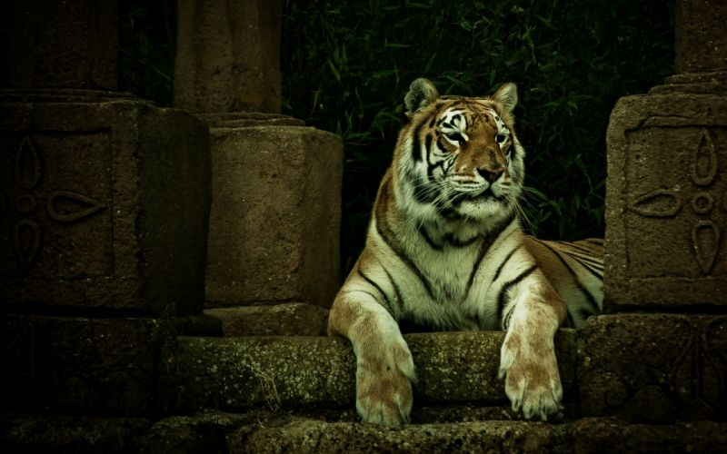 animals cats tigers predator wildlife face eyes whiskers stripes wallpaper