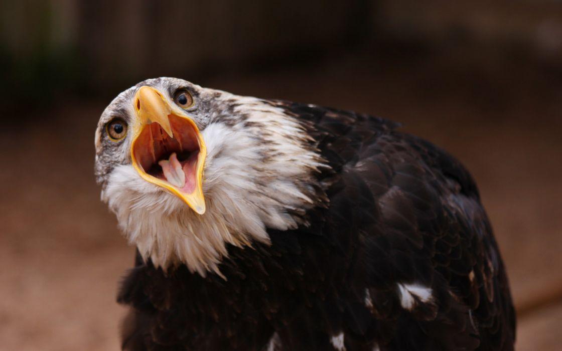 animals birds eagles face eyes pov predator wildlife wallpaper