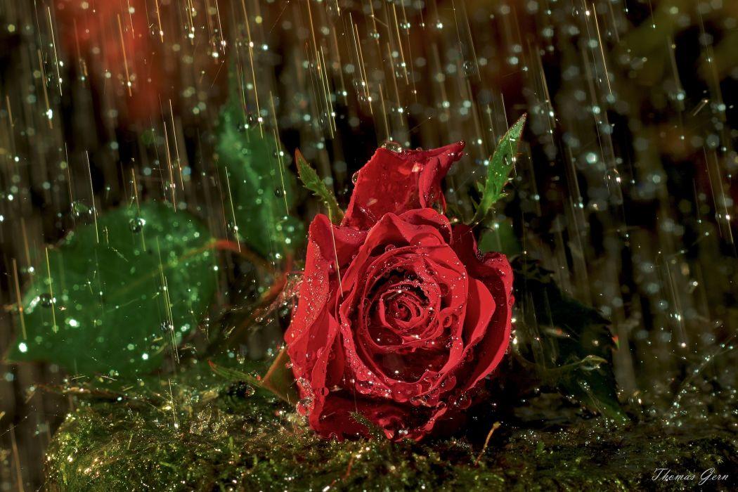 valentines nature flowers drops rain storm rose petals romantic mood wallpaper