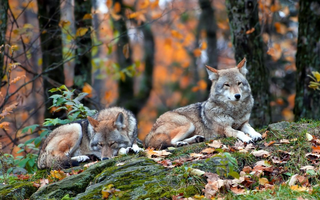 wolf wolves wallpaper