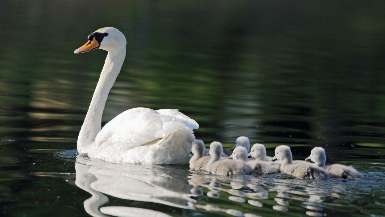 birds swan wallpaper