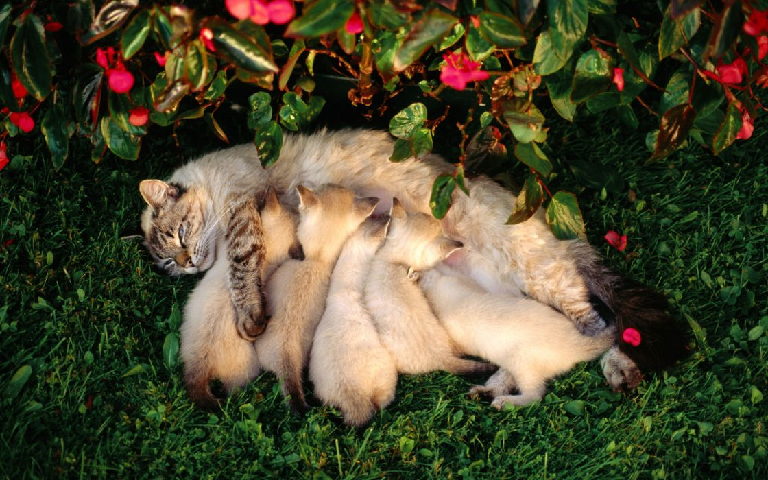 kittens babies cats cute mother wallpaper