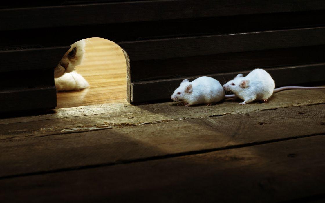 humor mouse mice cat wallpaper