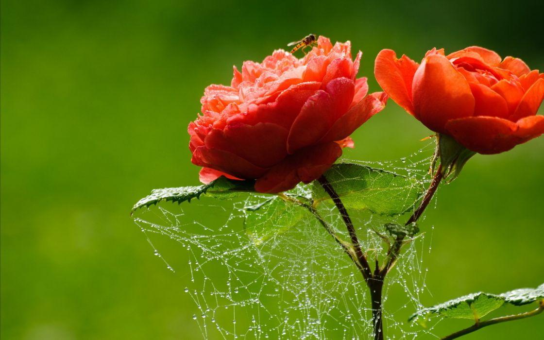 drops spider web wallpaper