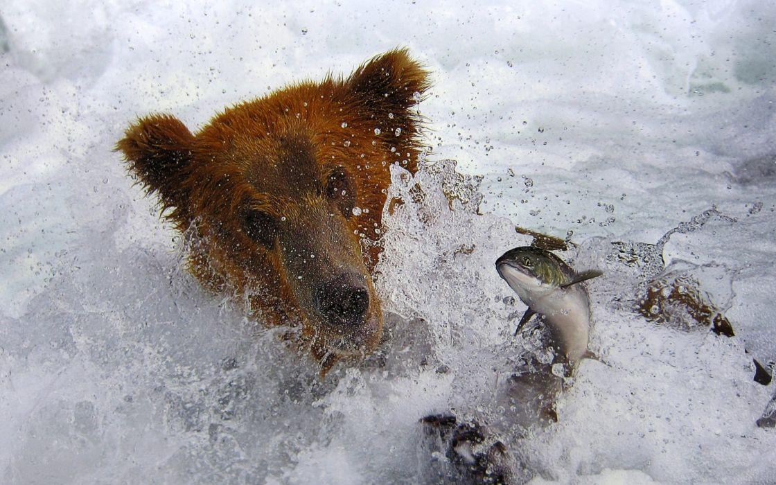 bears fishes splash drops rivers nature wallpaper
