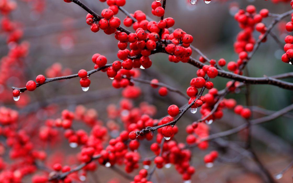berry macro drops red wallpaper
