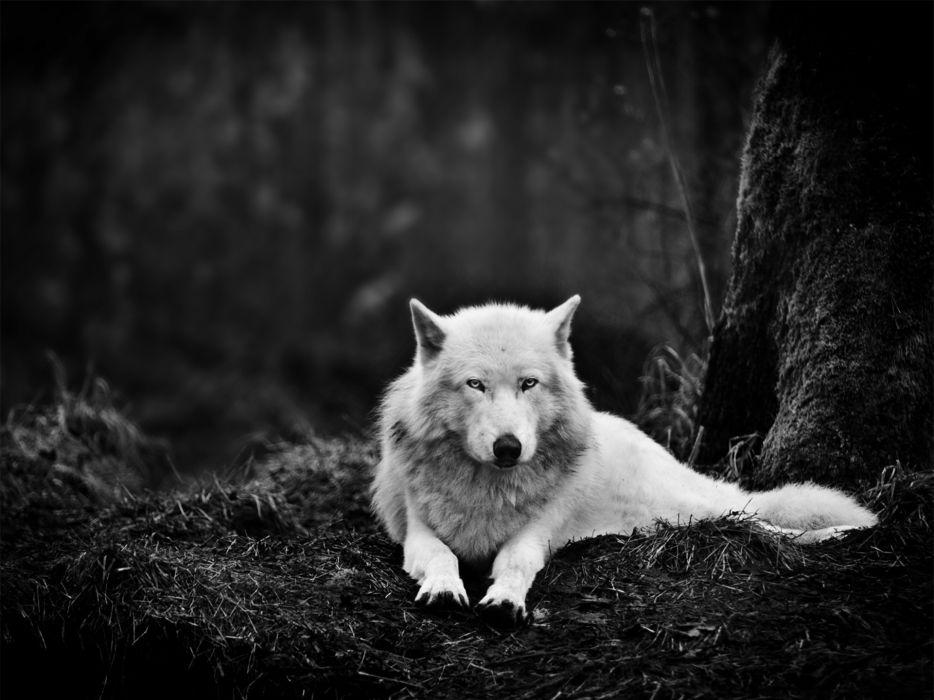 wolf wolves black wallpaper