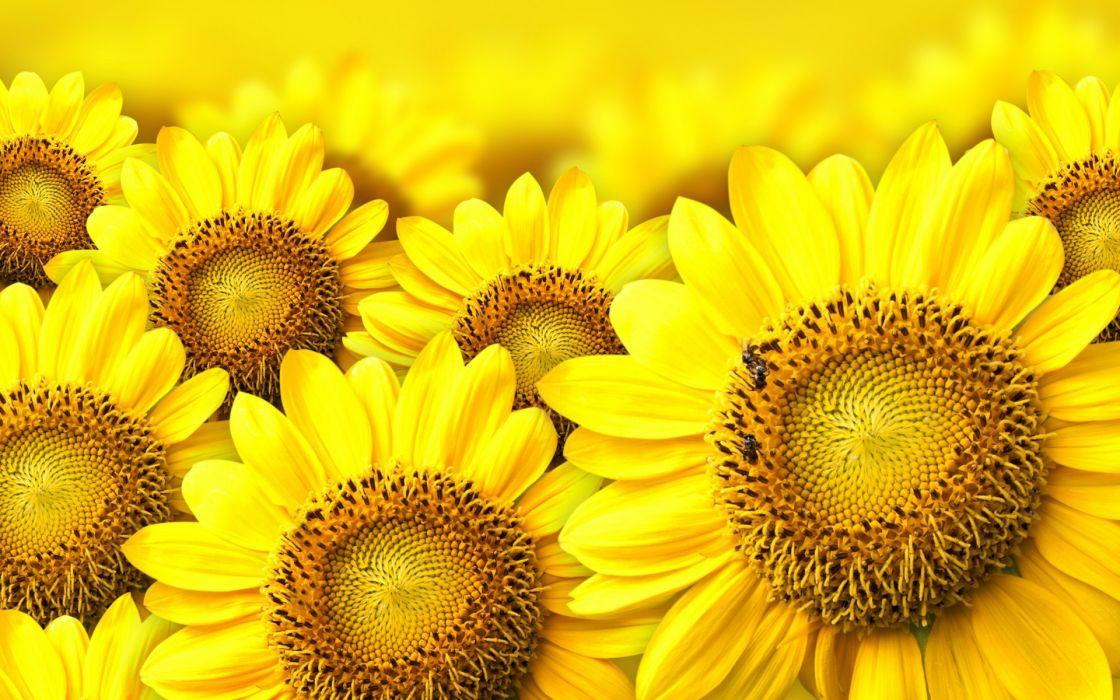 sunflowers yellow wallpaper