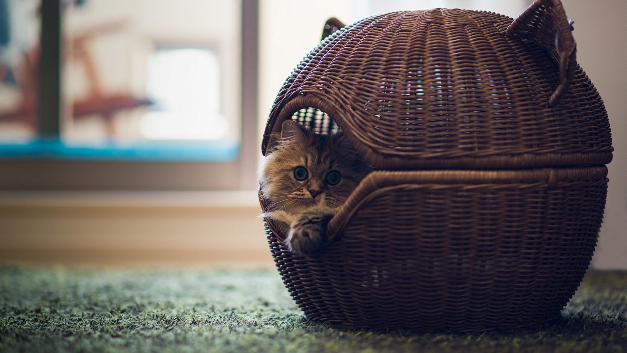 cats kittens cute wallpaper