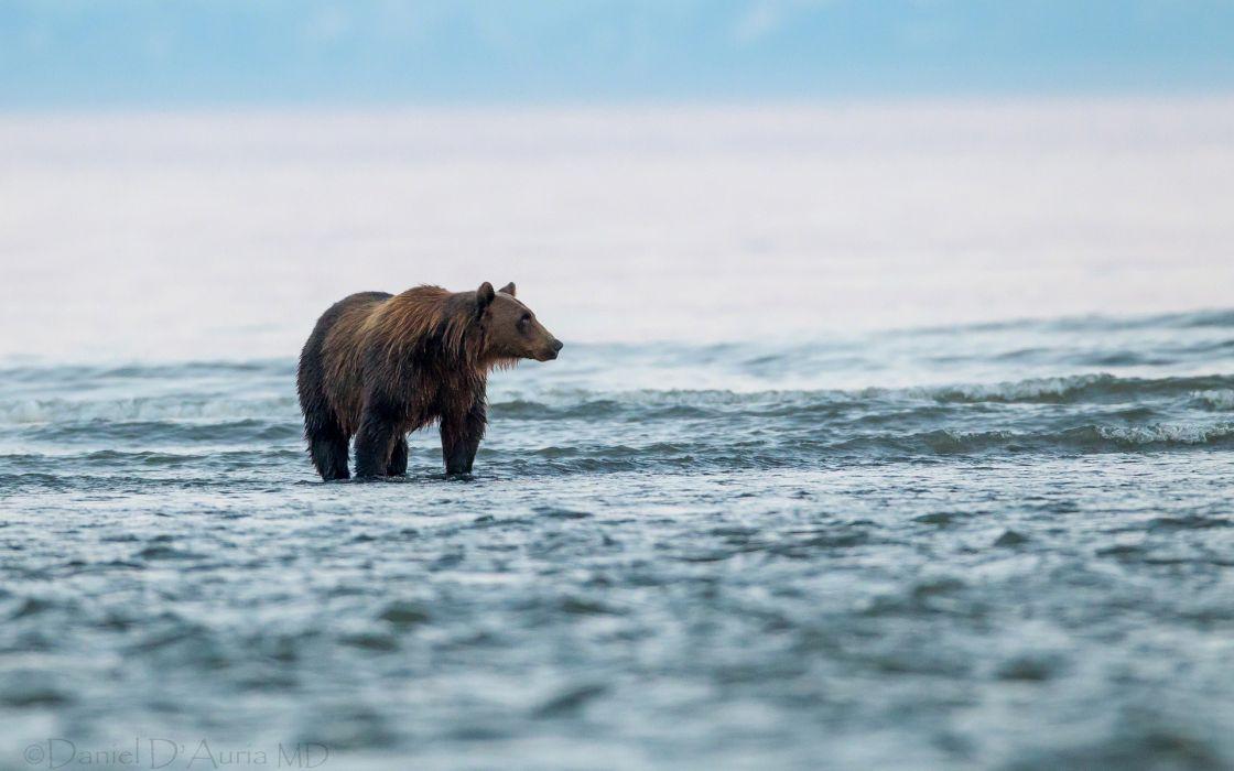 bears landscapes wallpaper