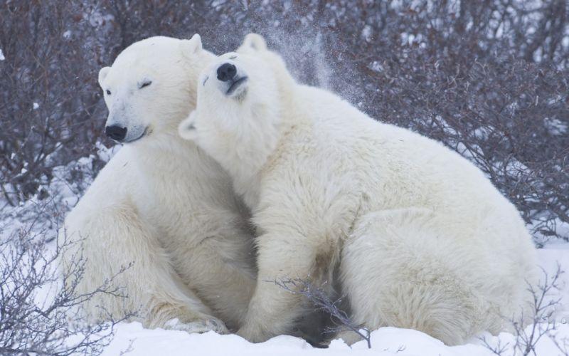 polar bears winter snow flakes blizzard wallpaper