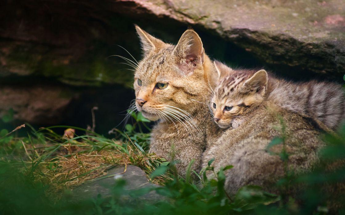 kittens baby animals babies wallpaper