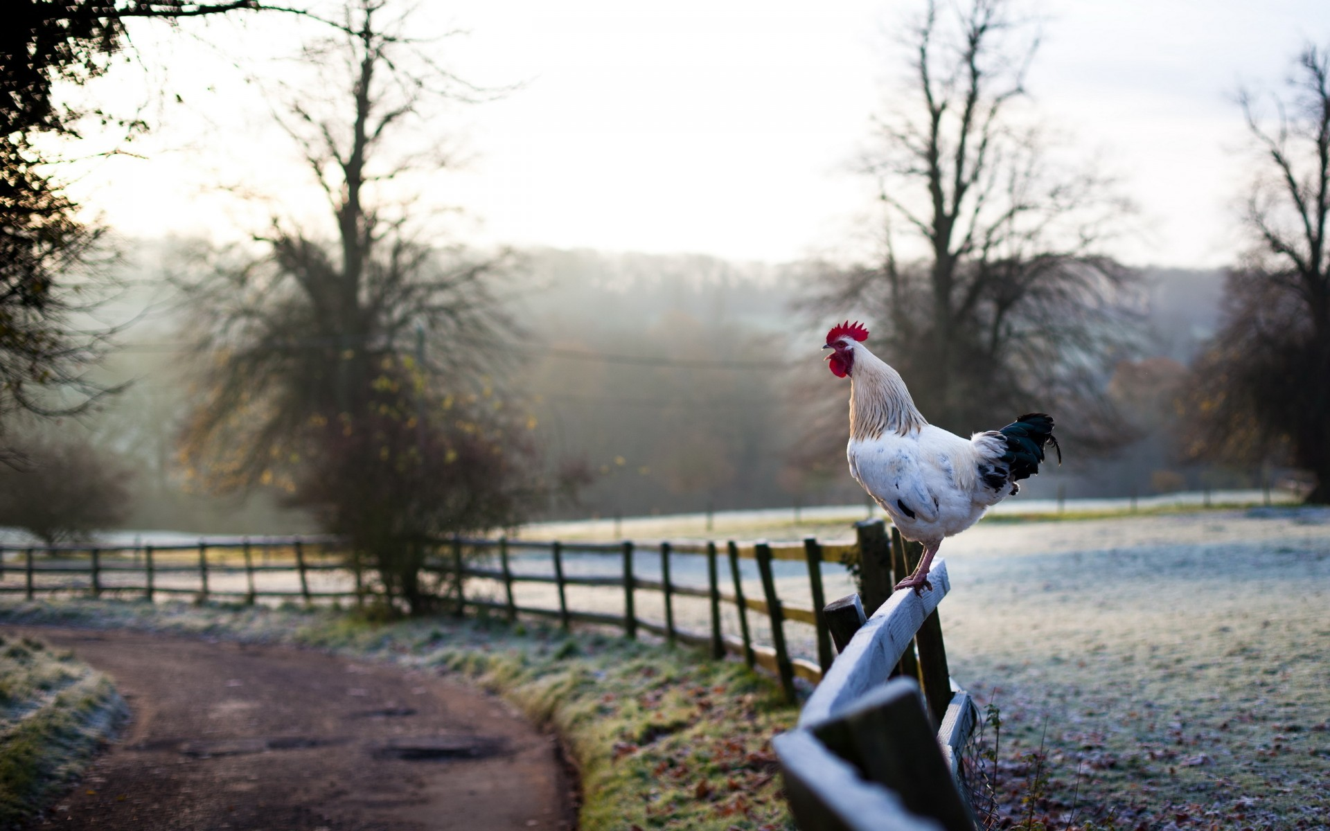 18 top rooster wallpaper - photo #16