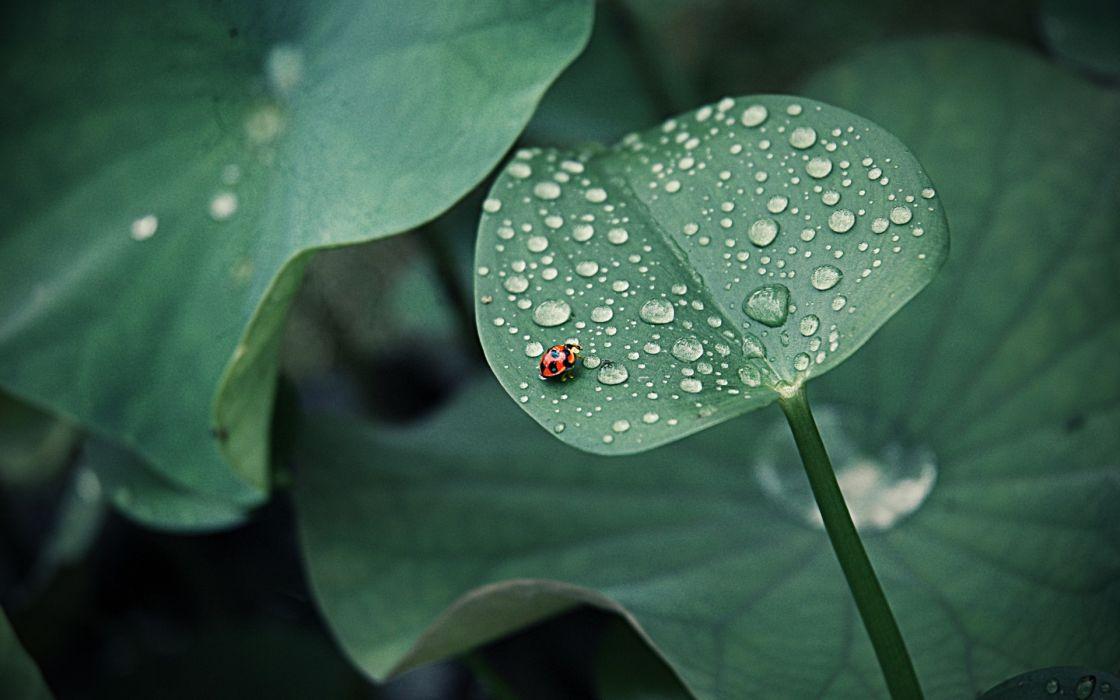 ladybird ladybug drops leaves nature plants wallpaper