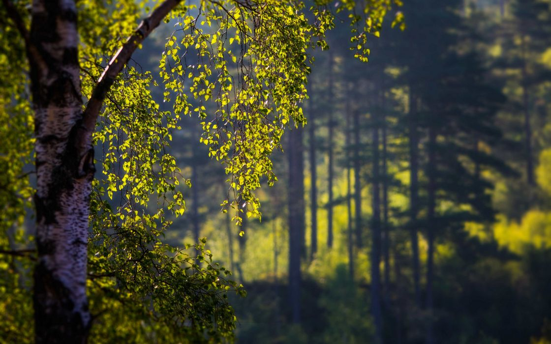 landscapes trees forest wallpaper